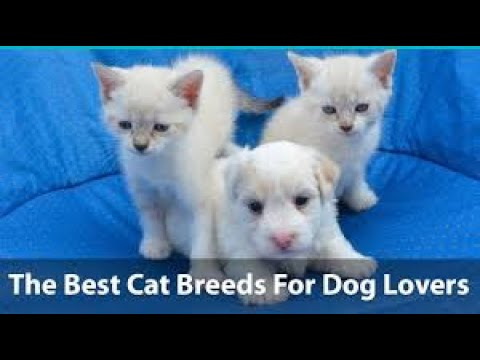 the best cats breeds for dog lover