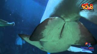 Mutig auf Mallorca - Hai-Tauchen im Palma Aquarium