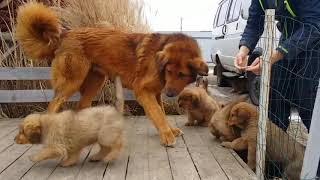 щенки монгольской овчарки банхар