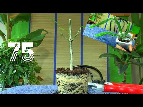 Chili Bonsai. Die Sämlinge und wie geht es weiter mit den Exoten und anderen Pflanzen Teil 75
