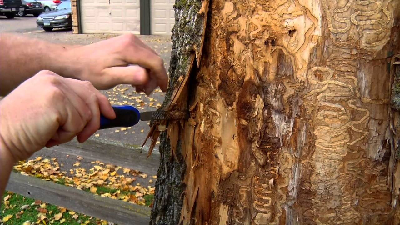 Emerald Ash Borer Interactive Map - YouTube
