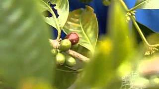 Kona Coffee - Organic Farm Tour and History