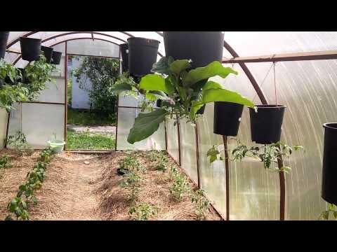 выращивание помидор на подоконнике