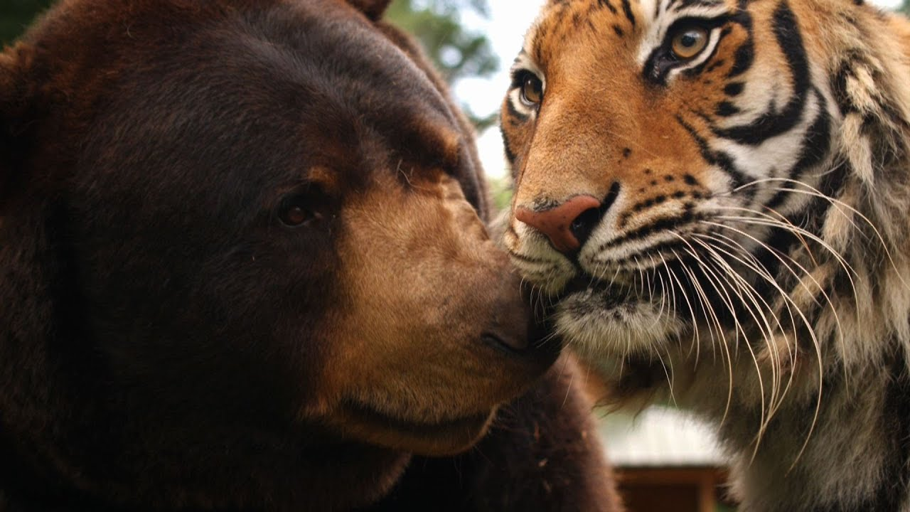 Animal Odd Couples Youtube the lion, tiger and bear family - animal odd couples: episode 1 preview -  bbc one