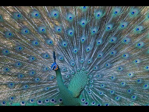The Most Beautiful Peacock Dance Display Ever Peacocks Opening