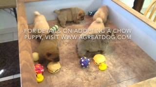 Chow Puppies 3 Weeks old