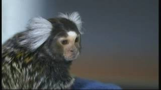 Do monkeys make good pets? (UK) - BBC - 28th April 2016