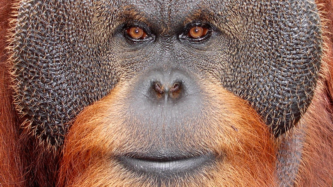 43010 >> Center For Great Apes - Sanctuary Spotlight - YouTube