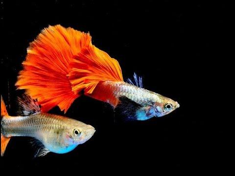 Beautiful Guppyies   European Championships 2017, aquarium exhibition
