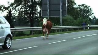 Kuh sorgt für Straßensperre