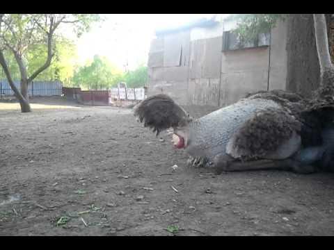 Вопрос: Сколько яиц и с какой периодичностью дает страус?