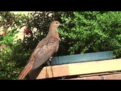 Brown Cuckoo Dove quenching his thirst.