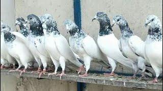 Ustad talat mehmood k pigeons