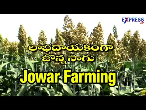 Jowar (Jonna) Farming in Rice Fallows by Guntur Farmers : Paadi Pantalu | Express TV