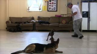 Ace  Puppy Started In Basic Obedience Dog Training