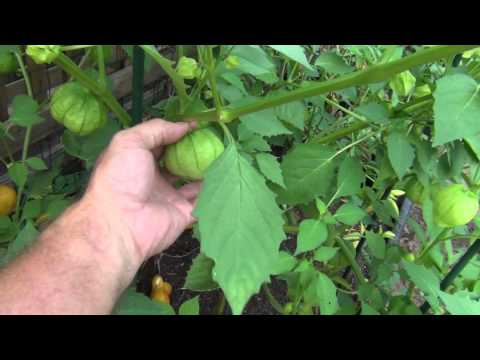 Growing Tomatillos and Jalapeno peppers