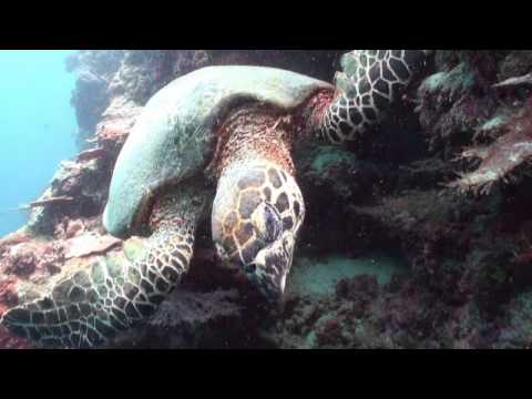 Swimming with Sea Turtle - Scuba Diving Sipadan Malaysia Underwater Video