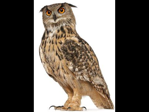 Bird Name- Owl