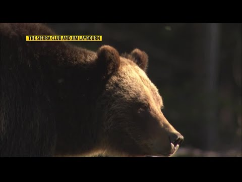 Yellowstone grizzlies to be removed from Endangered Species Act