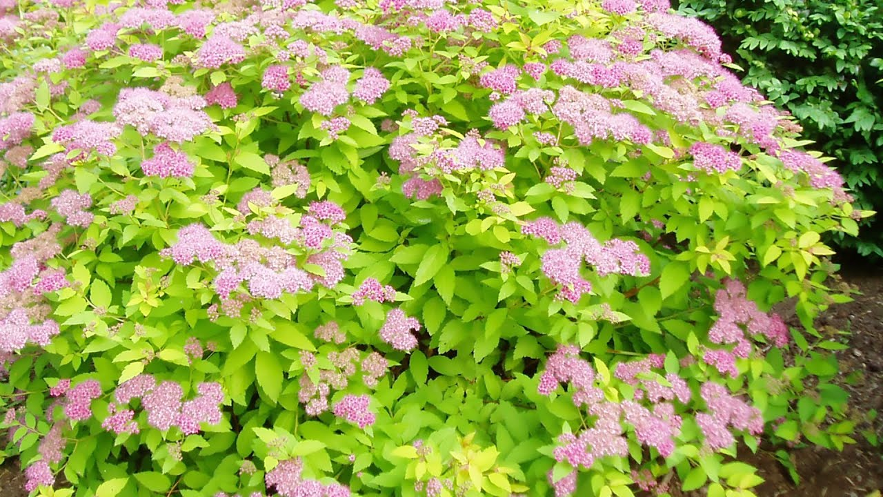 Pruning spiraea in autumn: a schematic. Caring for spiraej in the autumn