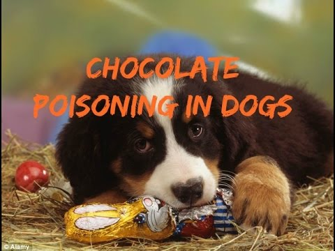 Chocolate Poisoning In Dogs YouTube