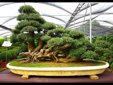 How to grow outdoor bonsai trees in your garden youtube - Bonsai zimmerpflanze ...