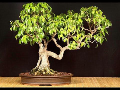 ficus benjamina var wiandi cinderella of the species as bonsai youtube. Black Bedroom Furniture Sets. Home Design Ideas