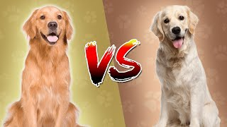 Top Dog : Golden Retriever vs Labrador Retriever