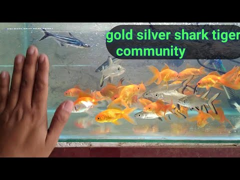 Silver Shark Gold Tiger Shark Together