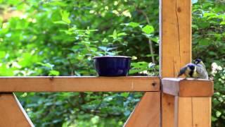 Август, синицы на даче