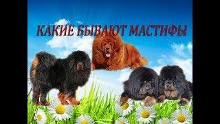 Породы собак  Щенки  Какие бывают мастифы  Часть 3
