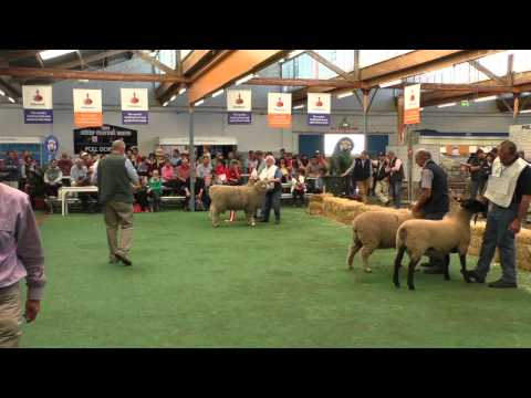 Suffolks, Poll Dorsets claim interbreed crown