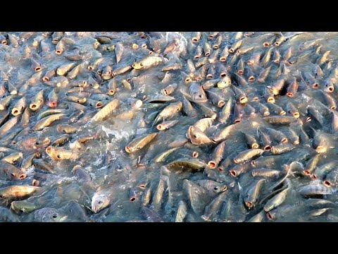 Culture Management Of Monosex Tilapia ||Tilapia Fish Feeding In Fish Farm | Indian Fish Farm Part 10