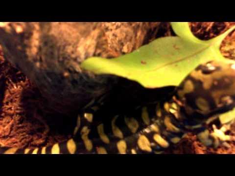 Tiger Salamander and Green Tree Frog breeding