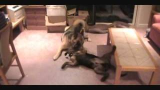 Rottie Mix Puppy Attacking Bigger German Shepherd Mix