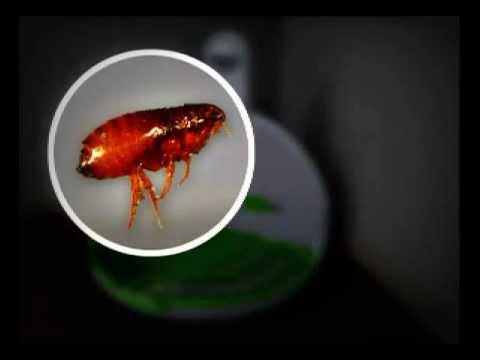 my flea trap does my flea trap works ecological flea solution odorless flea trap youtube. Black Bedroom Furniture Sets. Home Design Ideas