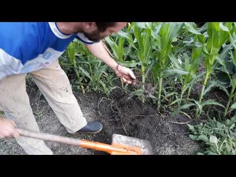 Уничтожаем сорняк. Гербицид Ураган Форте. Спустя два месяца