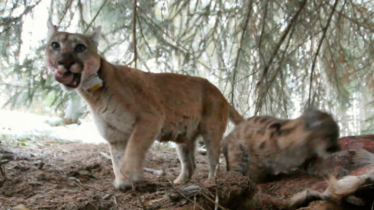 Mountain Lions Big Cats In High Places
