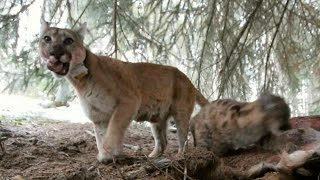 Hippy mother Mountain Lion - Natural World: Mountain Lions: Big Cats in High Places - BBC Two