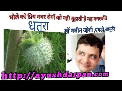 Medicinal importance of Thorn apple/Datura metel/Angel
