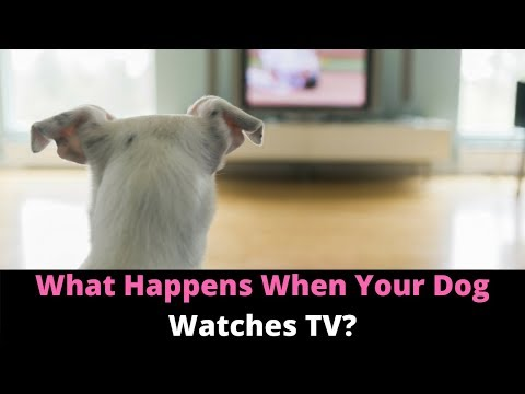 Why Do Dogs Watch TV And React? Here's What Dogs See When They Watch Television!