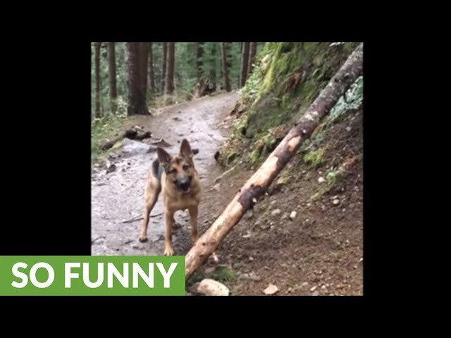 Stick-loving dog won't leave without entire fallen tree trunk
