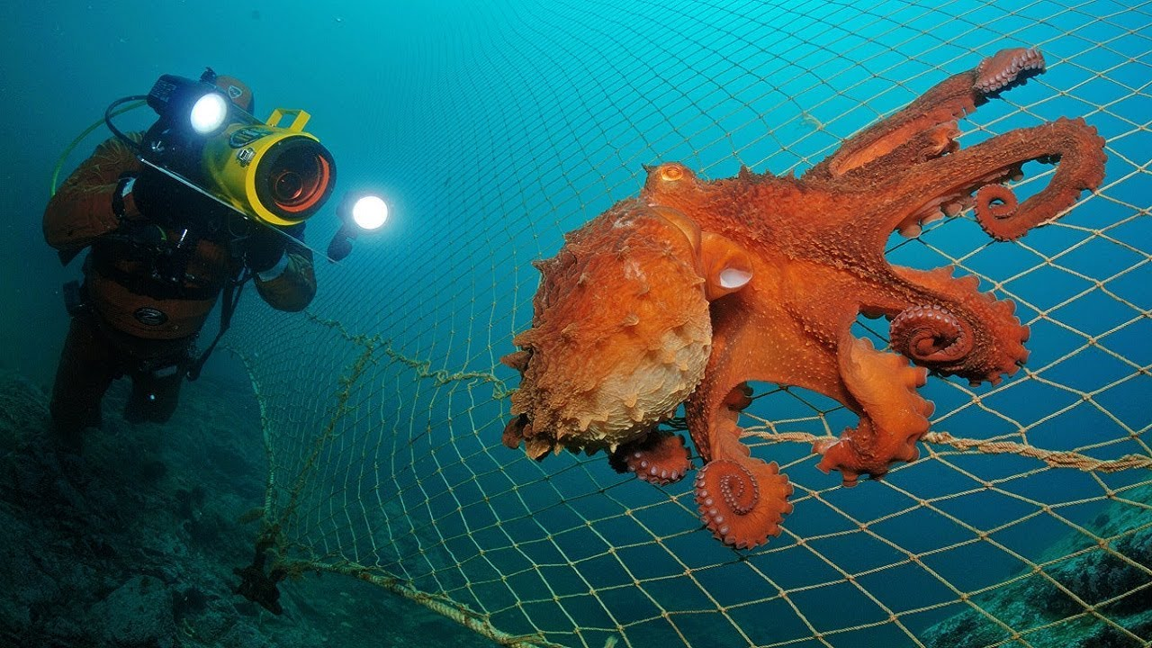 The biggest octopus