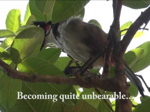 Red Whiskered Bulbul-itching all over