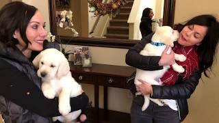Lab puppies meet their forever families!