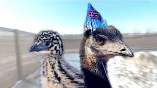our baby emu 1 year later