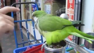 鳥街的和尚鸚鵡(Monk parrot)