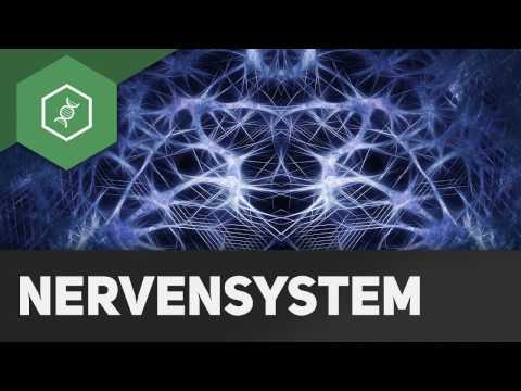 Somatisches und vegetatives Nervensystem ● Gehe auf SIMPLECLUB.DE/GO & werde #EinserSchüler