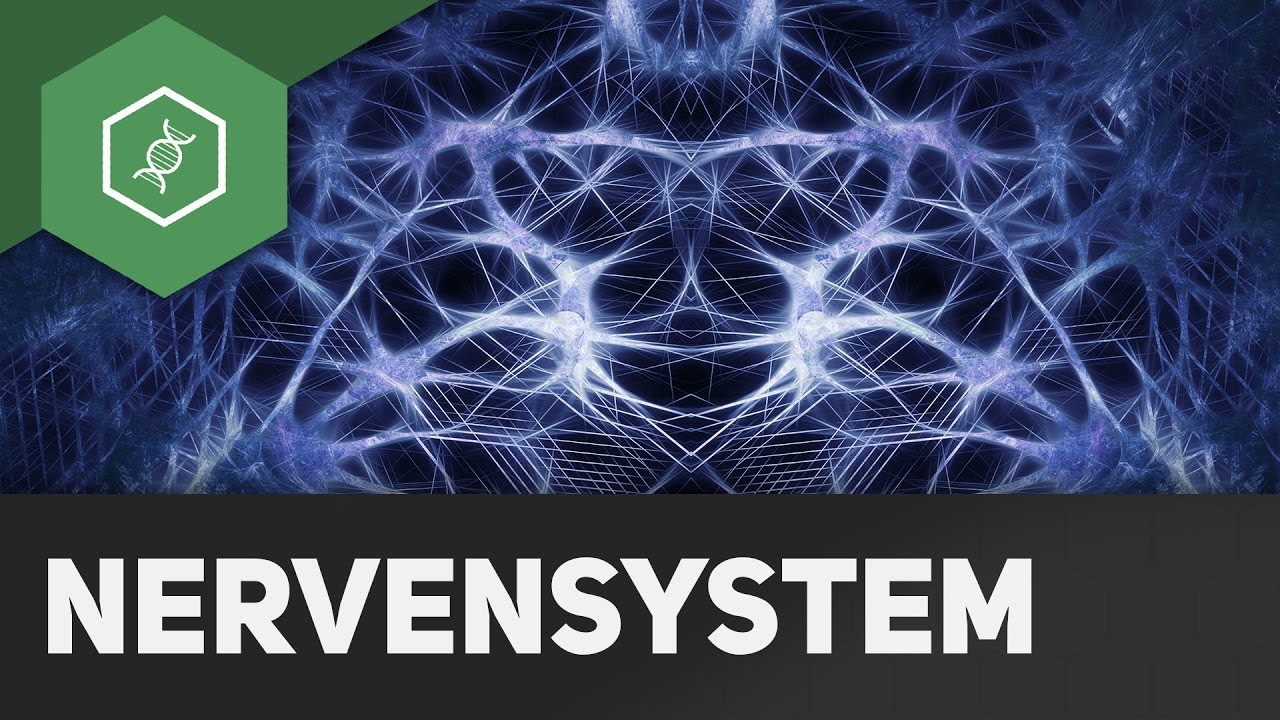Somatisches und vegetatives Nervensystem - YouTube