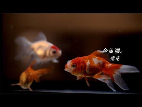 「金魚涙。」の参照動画